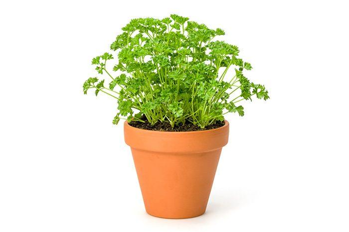 パセリの鉢植え