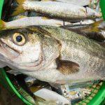 高級魚と呼ばれるスズキについて・スズキの値段はいくら?