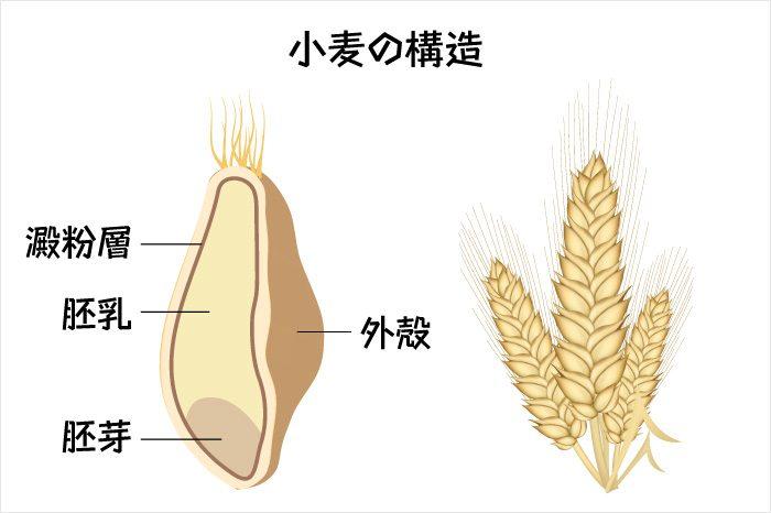 小麦の構造