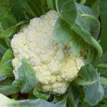 カリフラワーは生食で?実は葉っぱも食べられるカリフラワーの栄養や効能について