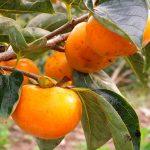 柿の種類・品種・産地。渋柿の見分け方も
