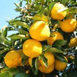柚子(ゆず)の効能や栄養について