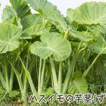 ハスイモの芋茎(ずいき)