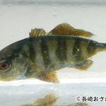 カンパチが出世魚と言われる理由。幼魚の名前と漢字など