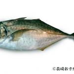 シマアジの価格や旬・料理について
