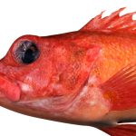 メヌケってどんな魚なの?料理と味についてのまとめ