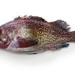 ソイという魚の味や美味しい食べ方、さばき方