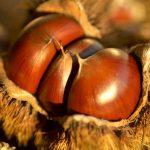 栗は果物?木の実どっち?意外と知らない栗の分類